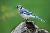 Blue Jay perched -  Blue jays sometimes store acorns in the ground and may fail to retrieve them, thus aiding the spread of forests.