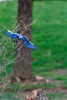 Blue jay flying in for landing