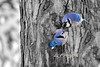"mad Blue Jay<br /> to purchase - <a href=""http://bit.ly/XnGeLw"">http://bit.ly/XnGeLw</a>           .................................................................pixel paintography"
