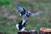 Blue jay flying in for landing...............................To purchase digital file or purchase print e mail - DFriend150@gmail.com