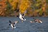Mallard ducks male and female flying