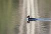 Merganser ducks on the water