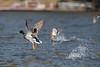 Mallard duck taking off from he water