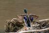 Mallard duck strething wings