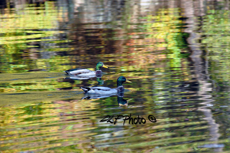 Mallard ducks reflections - 10172011x0373xx Prints or digital files can be purchased by e mailing DFriend150@gmail.com