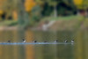 Hooded merganser ducks on the water flying paintography