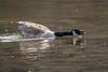 Canada goose showing his displeasure
