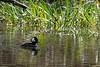 Hooded merganser swiiming front of reeds