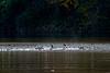 Hooded merganser ducks taking off in the water