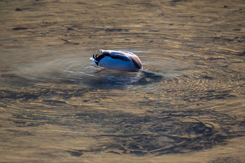 Canada goose feeding underwater