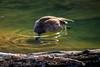 Canada goose feeding under clear water