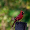 Male red cardinal on fence post