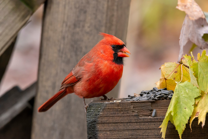 Male cardinal on fence post feeding