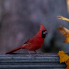 Red cardinal in fall yellow leaves