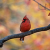 Cardinal in front of yellow and red leaves