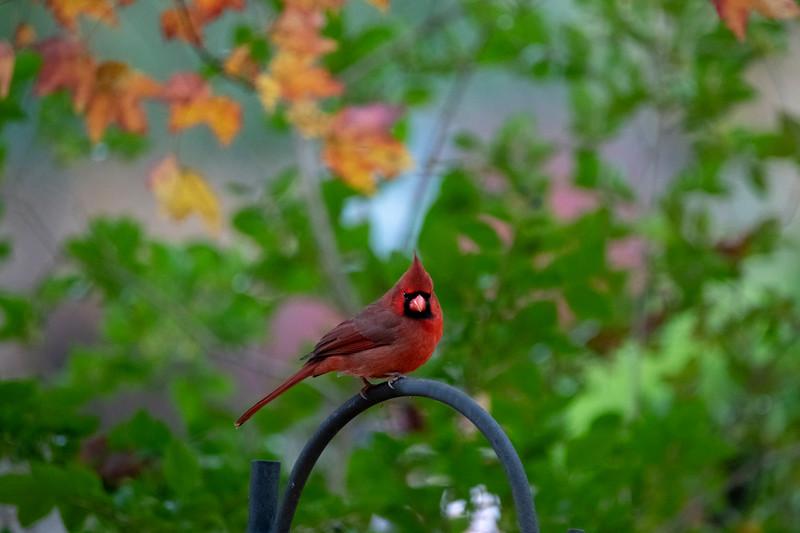 Male cardinal on iron grate