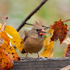 Female cardinal in the yellow fall leaves
