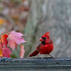 Red cardinal in fall