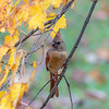 Female cardinal on branch with yellow leaves