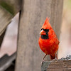 Male cardinal on fence post