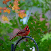 Male cardinal on iron grate