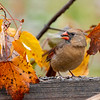 Female cardinal feeding in the  fall leaves
