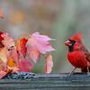 cardinal feeding on fence post