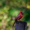 Red cardinal on fence post