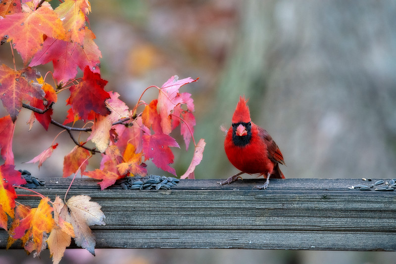 Cardinal in fall on fence post