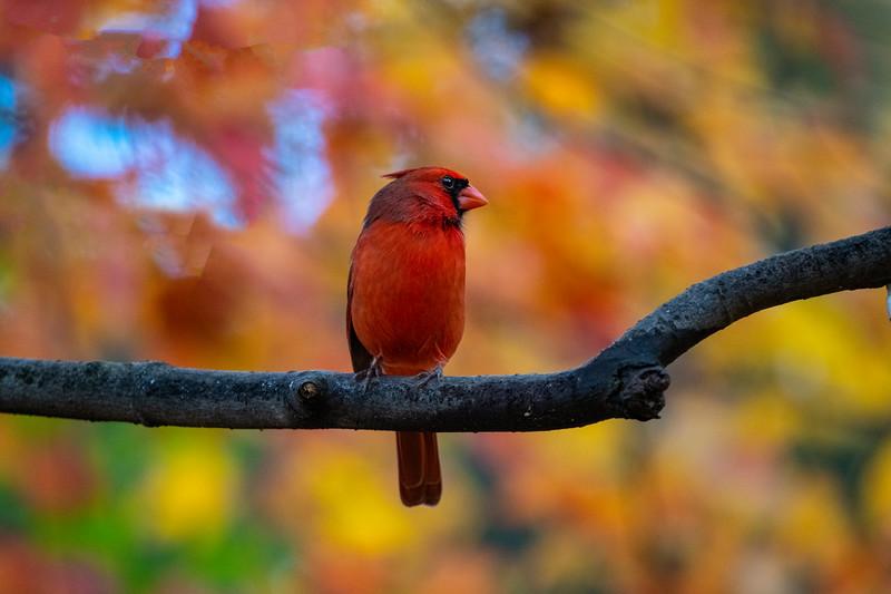 Cardinal on limb in fall