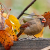 Female cardinal feeding in the leaves