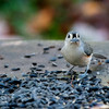 Titmouse with sunflower seed
