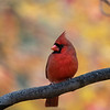 Red cardinal in front of fall foliage