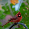 Red cardinal on iron grate