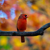 Cardinal on limb in fall