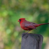 Cardinal on fence post