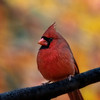 Male red cardinal in front of fall foliage