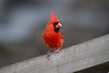 Male cardinal one of themost recognizable birds