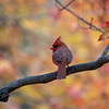 Male cardinal perch on limb