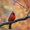 Red cardinal perched on limb