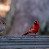 Male and female cardinals on fence