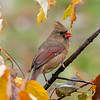 Female cardinal in the  fall leaves