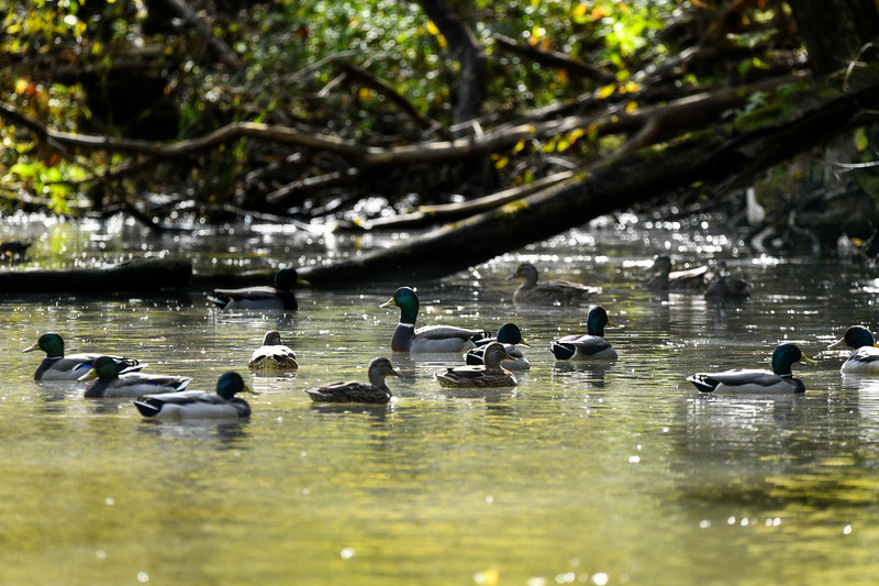 Mallard ducks in a flock on the water