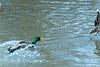 Mallard male chasing away competition