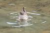 Mallard ducks doing their things