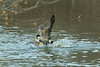 Two geese fighting or maybe mating...