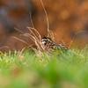 Quail in the grass 2