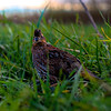 Quail in the grass looking back