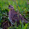 Quail looking in the grass