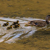 Baby mallard ducks following their mother